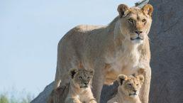 Treffen Sie die Löwen in Wildlands vom Camping Zwinderen in Drenthe